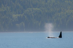 Orca taking a breath