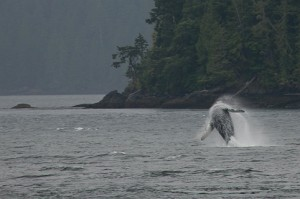Galaxy the young humpback breaching