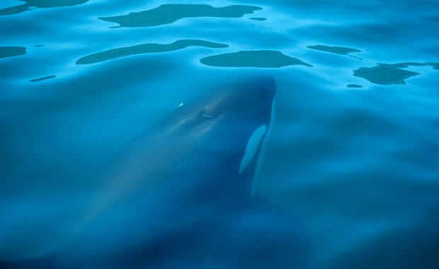 about_orcas_image_004