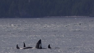 sharis-orcas_img_4362